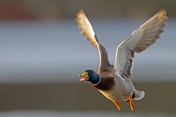 Mallard in flight. by philmclean