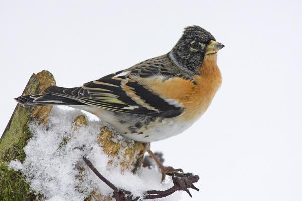 Brambling,m on snowy post. by philmclean