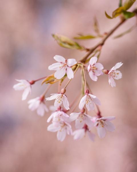 Spring Blossom by ARodders