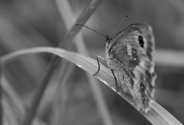 B & W Butterfly