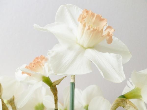Daffodill by Mr_Squirrel