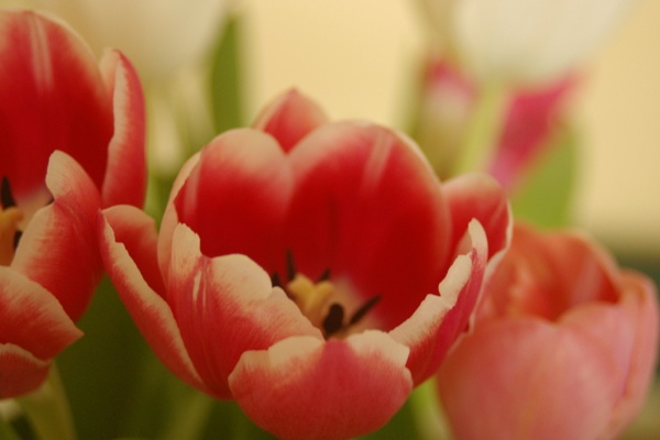 Pink and white Tulips by pentaxpatty