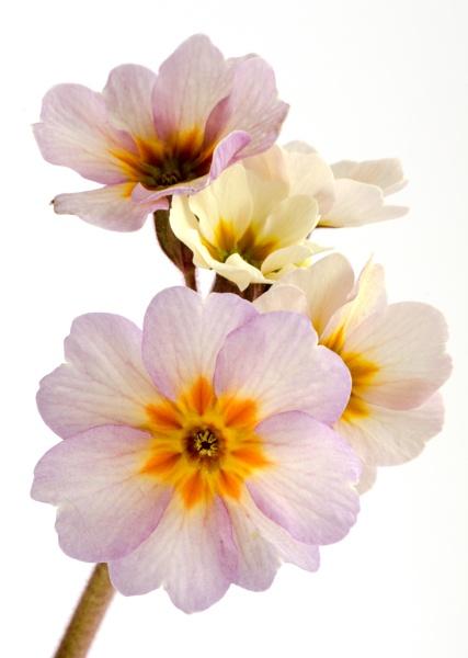 Polyanthus \'Champagne\' by flowerpower59
