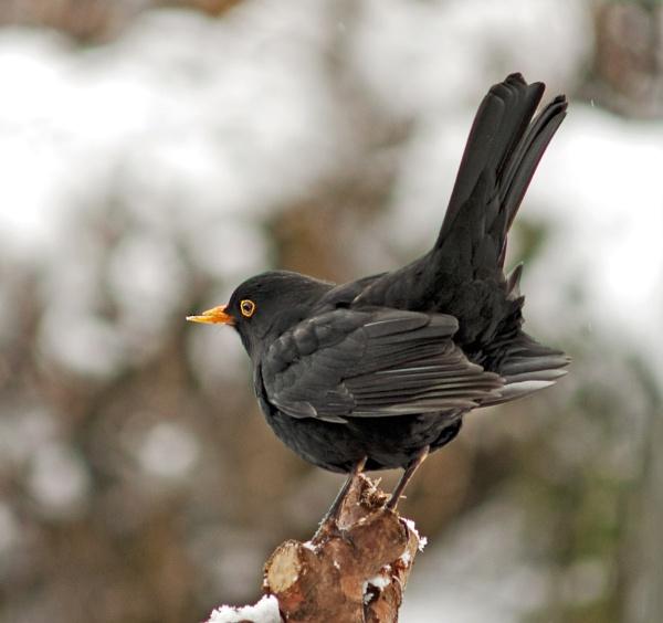 Mr Blackbird by pp1