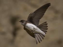 Sand Martin in Flight.