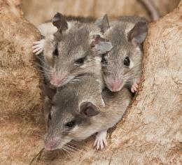Just the three of us. (Turkish Spiny Mice}
