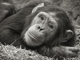 Chimpanzee ( Pan troglodytes )