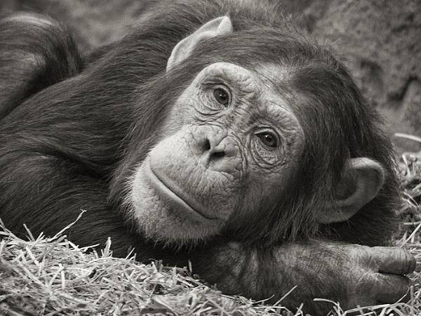 Chimpanzee ( Pan troglodytes ) by 10delboy