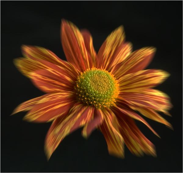 Chrysanthenum by Taff