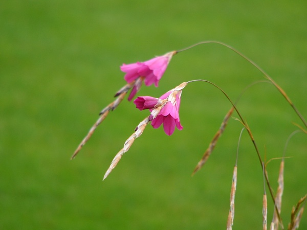 Angels Fishing Rods - (Dierama)