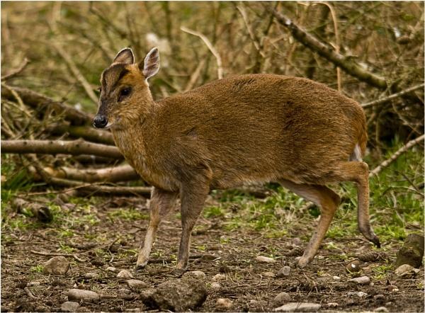 Muntjac Deer by dven