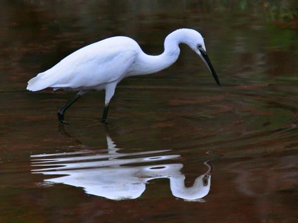 Little Egret by davet2