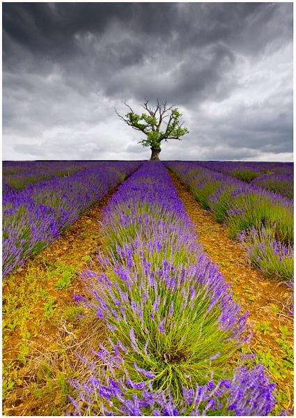 Lavender by Alan_Coles