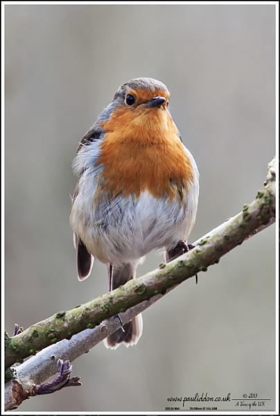 The obligatory Robin. by Paul_Iddon