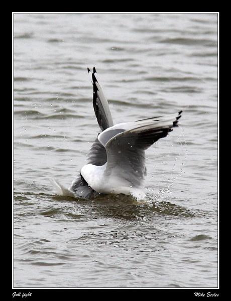 Gull fight by oldgreyheron