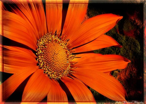 Orange sunflower by fix