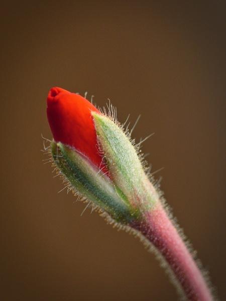 Hairy geranium bud by Bluewave42