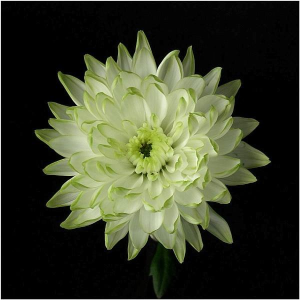 Chrysanthemum by Billyray
