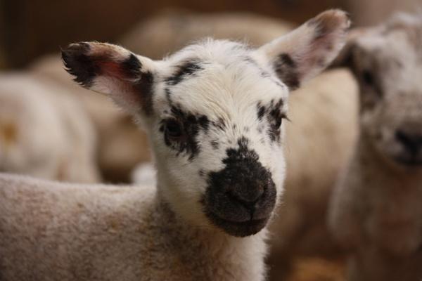 Lambing by HeatherR