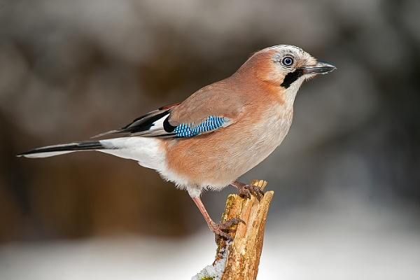 Winter jay by mikepearce