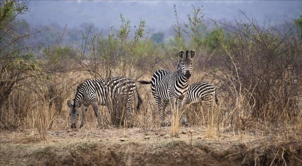 Zebra Group by rontear