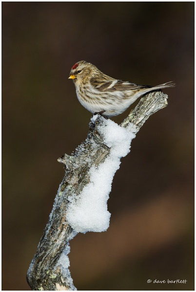 Common redpoll in the snow by DaveBartlett