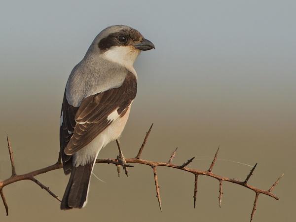 Lesser Grey Shrike by Jamie_MacArthur