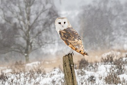 Barn Owl in Snow