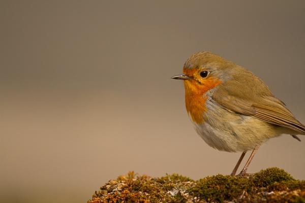 Robin by RazvanD