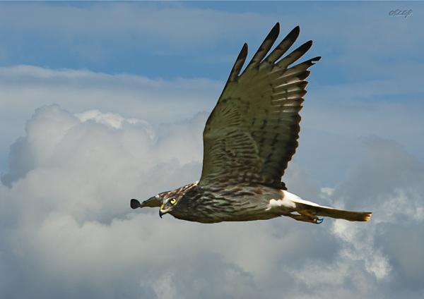 Harrier Hawk1290 cropped by paulknight
