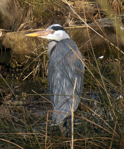 Grey Heron by chriswood