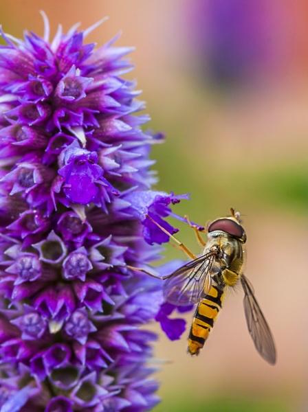 Hover Fly by sdixon2380