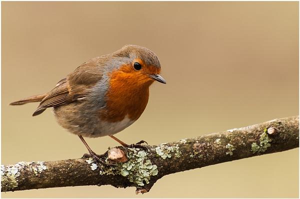 Robin by achieverswales