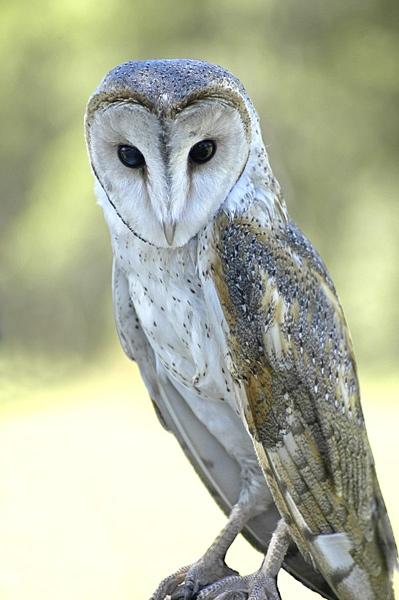 Barn Owl by redboots9