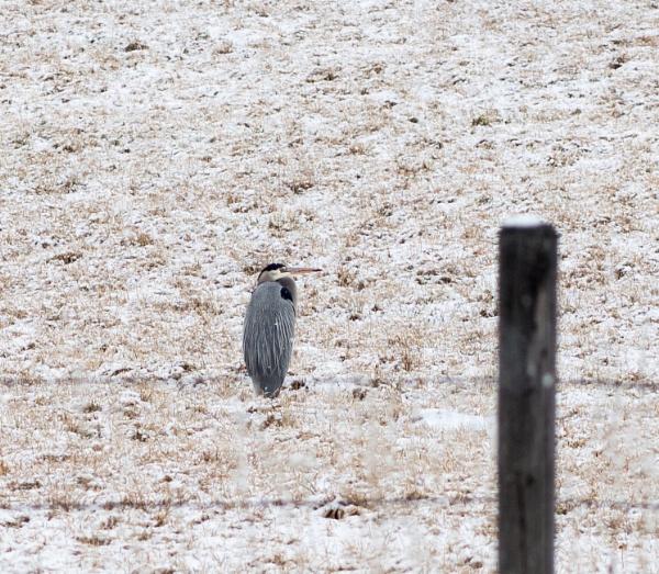 blue heron by wm