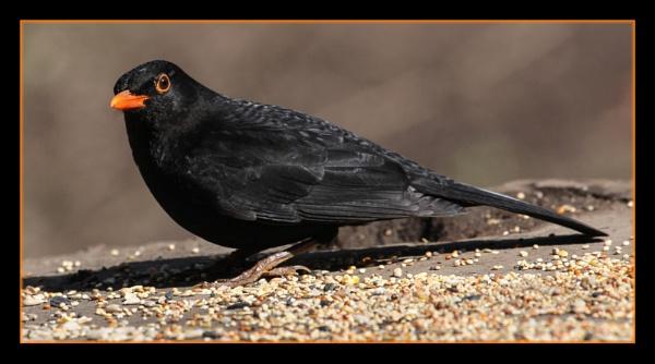 Blackbird at Himley Hall by DicksPics