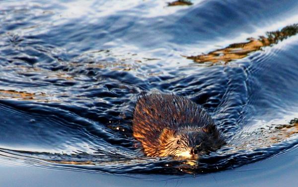 Canada  beaver  says  Hello. by tonyguitar