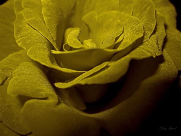 Golden rose by 9z