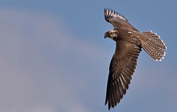 Peregrine Falcon by Fogey