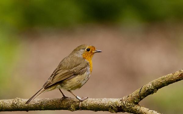 Robin by Fogey