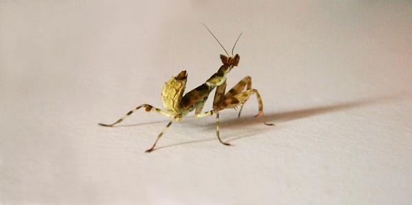 Spam the Praying Mantis by EKMitchell