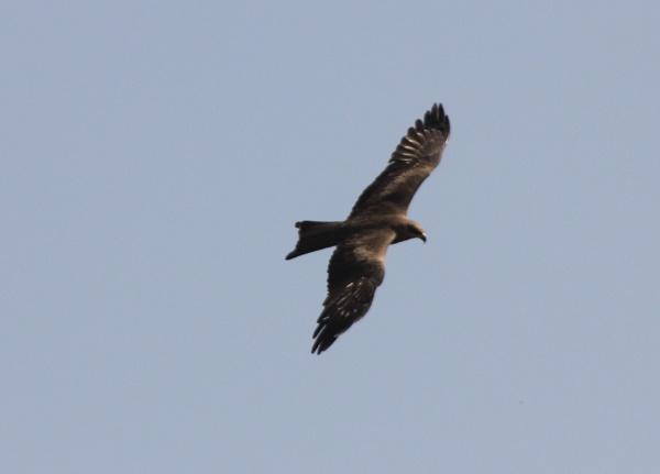 Black Kite by Shotover