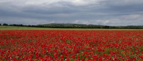 poppy field by jbphotos