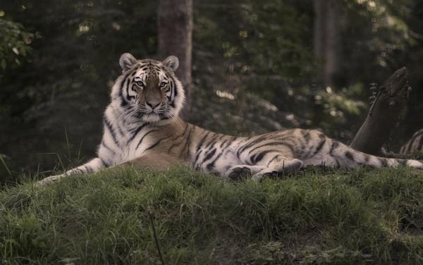 Amur Tiger by 10delboy