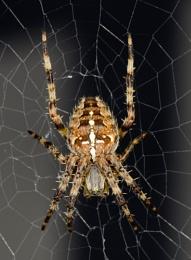 Garden Spider - Aranaus Diadematus