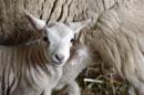 Easter Sunday Lamb, The Lamb of New Beginnings - S by finnelliott