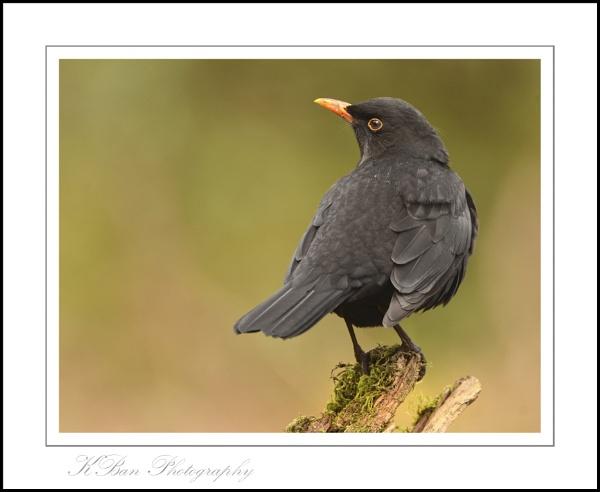Blackbird...Male by KBan