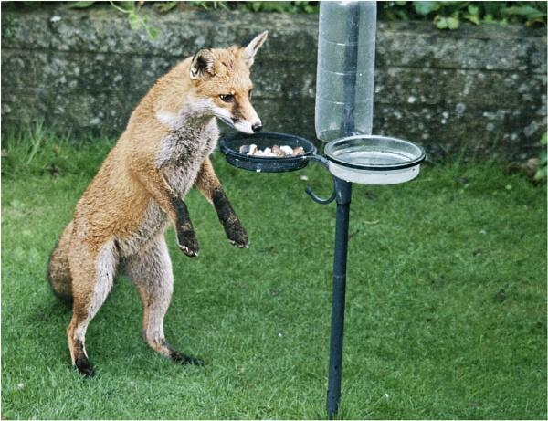 Urban Fox by dven