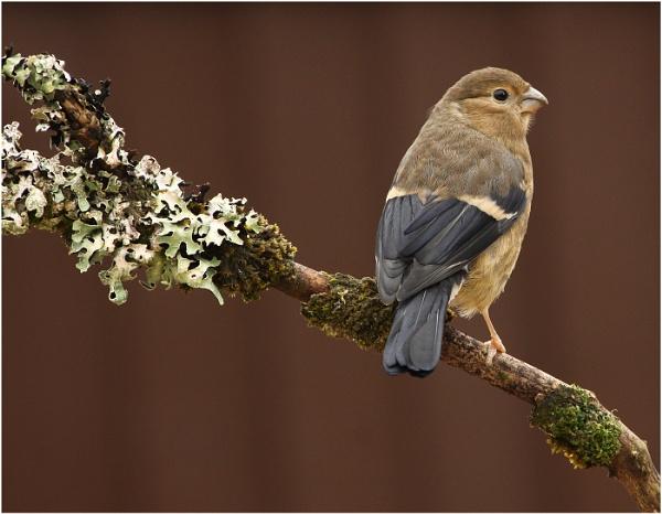 Juvenile Bullfinch by Alan_Coles