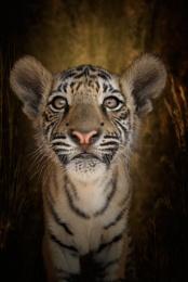 RELOADED....Tiger Tiger Burning Bright